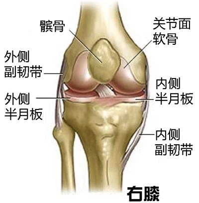 图2右膝关节示意图